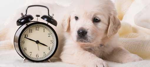 Ausbildung Tierheilpraktiker Dauer, Hund liegt neben einem Wecker